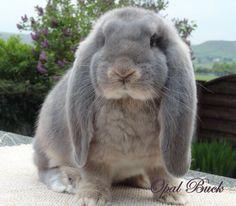 Opal buck. French lop eared rabbit