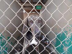 13 Best Adoptable Plott Hounds Images Plott Hound Dogs Animals