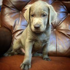 In the Heartland Labrador Retrievers Labrador Breeders, Labrador Retrievers, Heartland, Dogs, Animals, Labrador Retriever, Animaux, Doggies, Labrador Retriever Dog