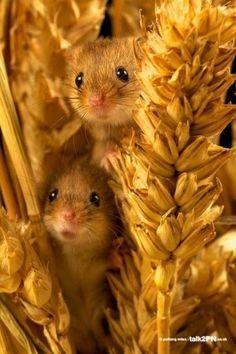 Peek-a-boo!  Cute little harvest mouse