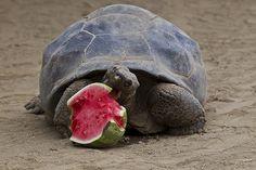 Galapagos tortoise - everybody loves watermelon.