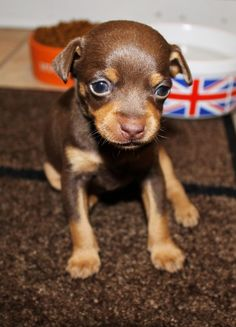 brown min pin | Chocolate Min Pin Boy For Sale