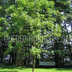 image de Aesculus glabra Photos, Outdoor Structures, Image, Gardens, Index Cards, Plant, Pictures