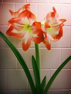 Amaryllis Minerva | Flickr - Photo Sharing!
