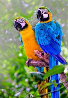 Parrot(rudeen isha)