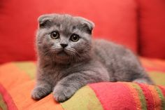 scottish fold kitten. so so cute!