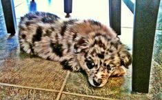 baby Australian Shepard