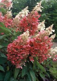 pinky winky hydrangea  LOVELY   HYDRANGEAS  BIS   COLOR  ,,,,J AIME,,,**+