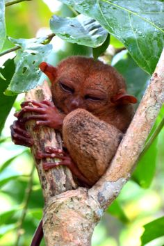 Tarsier monkey in #Bohol #philippines smiling for the camera