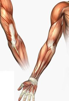 the musculature of the hand arm - notice there are no muscles in the fingers