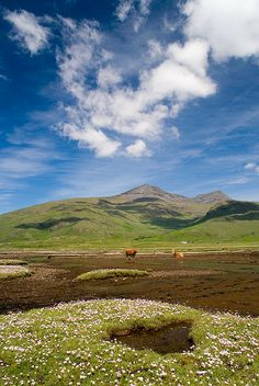 Highland cattle and Ben More, Isle of Mull, Inner Hebrides, Scotland