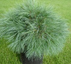 Blue Shag Pine Brings Soft Year-Round Texture to the Garden - Horticulture Dwarf Evergreen Shrubs, Evergreen Landscape, Dwarf Shrubs, Trees And Shrubs, Garden Shrubs, Garden Plants, Fruit Garden, Pine Garden, Shade Garden