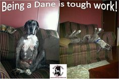 """I always tell my Danes that they have such a """"ruff"""" life"""