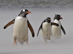 A Gentoo and two Rockhopper Penguins navigate a sandstorm on a Falkland Islands beach Penguin Love, Cute Penguins, Rockhopper Penguin, Oregon Beaches, Flightless Bird, Sea Birds, Island Beach, Little Birds, Cute Animals