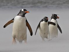 Photograph A Gentoo and two Rockhopper Penguins navigate a sandstorm on a F by Charlie Summers on 500px