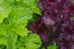 シソの育て方の画像 Botany, Gardening Tips, Herbs, Green, Flowers, Plants, Herb, Plant, Royal Icing Flowers