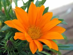 #BackToBusiness #orange for @Kara Martina #LukemiaAwareness — #macro #MacroCreators #macroliciousness #flowerpower #flowers #nature #MyZoomUp • LynnO on Streamzoo