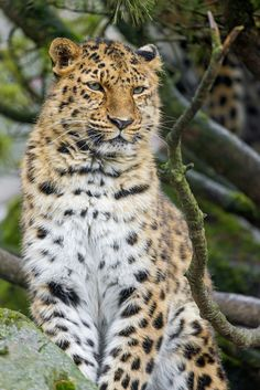 Posing leopardess