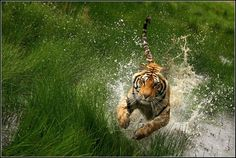 Cat attack by Romano Volker - Animals Lions, Tigers & Big Cats