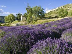 Champs de lavande, Mévouillon, Provence