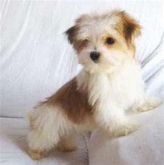 #morkie #dogs #cute puppy