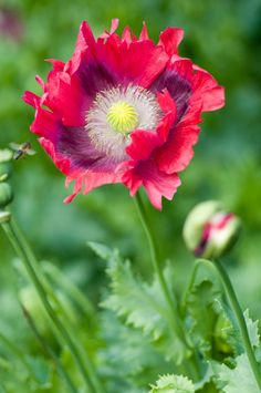 hot pink oriental poppy---If I ever find you, I WILL plant you...