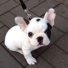 The major breeds of bulldogs are English bulldog, American bulldog, and French bulldog. The bulldog has a broad shoulder which matches with the head. Cute French Bulldog, French Bulldog Puppies, Cute Dogs And Puppies, I Love Dogs, Doggies, Teacup French Bulldogs, Pied French Bulldog, English Bulldogs, Cute Baby Animals