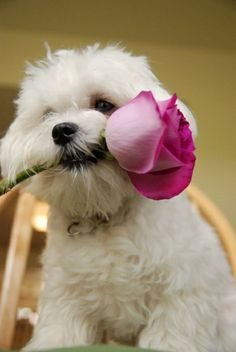 Puppy has a pink rose for you!