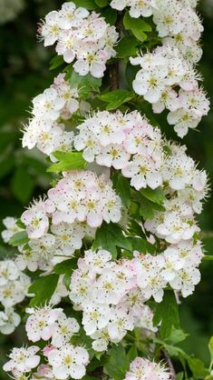 Crataegus Monogyna Compacta Hawthorn in full bloom. These are full standard shaped trees. Lawn And Garden, Garden Beds, All Year Round Plants, Mixed Border, Deck With Pergola, Patio Roof, Short Plants, Pergola Designs, Pergola Ideas