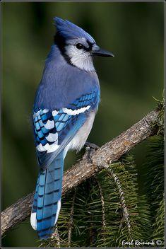Birds ©: Blue Jay [by Earl Reinink] Pretty Birds, Beautiful Birds, Animals Beautiful, Beautiful Creatures, Exotic Birds, Colorful Birds, Funny Bird, Blue Jay Bird, Tier Fotos