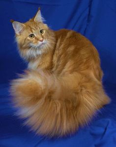 classic red maine coon | DAM: BRATS KATS CRYSTAL CLAIRE OF COONPALS , Silver Classic Tabby.