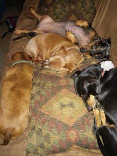 Dachshunds sleeping