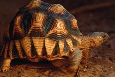 35 Of The World's Rarest Animals. The plougshare tortoise is so beautiful, it's a curse. The animal is poached for the illegal international pet trade. Tortoise As Pets, Sulcata Tortoise, Tortoise Care, Tortoise Turtle, Tortoise Habitat, Rare Species, Endangered Species, Wildlife Conservation Society, Russian Tortoise