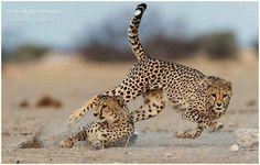 South Africa Wildlife, Photo L, Big Cats, Giraffe, Safari, Nature Photography, Animals, Image, Felt Giraffe