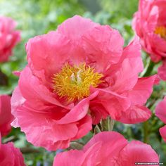 Vibrant pink semi-double flowers with a cheery yellow center make Peony 'Paula Fay' a must-have. Blooming in spring before most other peonies, they wake us up from winter's doldrums and are lovely as a backdrop to spring blooming bulbs. Great as cut flowers, they'll delight with their sweet fragrance and cheery disposition. (Paeonia x 'Paula Fay')