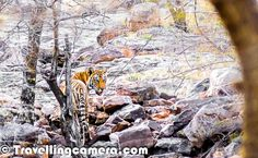 Tigers in Ranthambore Wildlife Sanctuary, Rajasthan, India - #SaveOurTigers campaign by @Aircel (28 of 45) | by VJ's Travelling Camera