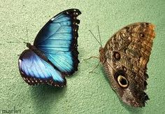 Owl Butterfly (both sides)