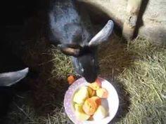 Чем кормить кроликов для быстрого набора веса — Яндекс.Видео