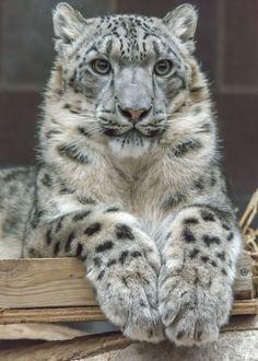 El leopardo de las nieves o irbis (Panthera uncia) Son, como la mayoría de las especies de su familia, animales solitarios, salvo en época de reproducción, cuando macho y hembra colaboran para cazar presas mucho más grandes que las usuales.