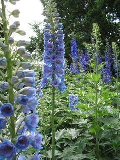 Delphinium 'Schönbuch' - Ridderspoor Beautiful Gardens, Beautiful Flowers, Champs, Month Flowers, Growing Gardens, Farmhouse Garden, Flower Names, Blue Garden, My Secret Garden