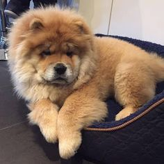 "The Chow Chow is a dog breed originally from northern China,where it is referred to as Songshi Quan,which means ""puffy-lion dog"". Chow Dog Breed, Chow Chow Dogs, Dog Breeds, Shitzu Puppies, Cute Puppies, Cute Dogs, Puppys, Lion Dog, Dog Cat"