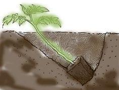 Hogyan ültessük ki a paradicsomot? Tomato Garden, Herb Garden, Vegetable Garden, Garden Plants, Euphorbia Pulcherrima, Growing Greens, Natural Homes, Gardening Gloves, My Secret Garden