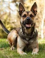 Sloki (@Hundstallet.se) is looking for a home. How I wish I could adopt this German Sheperd mix.