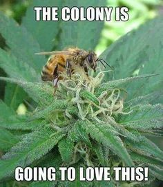 STRANGE bee on a Cannabis flower. Those flower don't produce nectar since they don't rely on insects to be pollinated This little one probably only wanted to smell the flower :-) Too bad Cannabis Honey cold be interesting! Ganja, Weed Humor, Weed Jokes, Stoner Humor, Endocannabinoid System, Marijuana Leaves, Marijuana Plants, Weed Plants, Puff And Pass