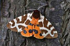 Mariposas da família Arctiidae evitam ser comidas por morcegos ouvindo os sinais de seus predadores e produzindo uma série de até 4.500 cliques por segundo para bloquear seu sentido de ecolocalização.