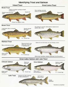 pdf of great lakes fish in mi   Lake Michigan Fishing Charter, Chicago, Waukegan IL. Lake Michigan ...