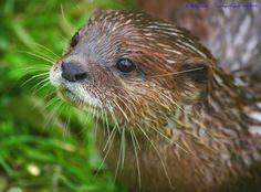 Otter Closeup - January 13, 2011