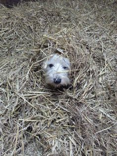"""""""Arthur The Westie! Hidin' out."""" ~ Best wee Doggies. I truly love them for their…"""