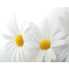 Vlies fotobehang Witte Margrieten - Bloemen en planten   Fotobehangen.nl