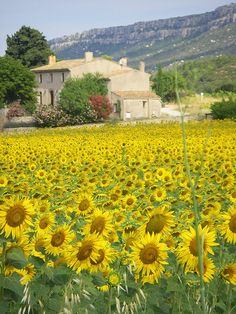 Provence ~ fields of sunflowers growing wild in front of a French Country bastide, with mountains in the background.